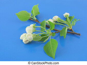 Twig of apple-tree with flowers on blue background.
