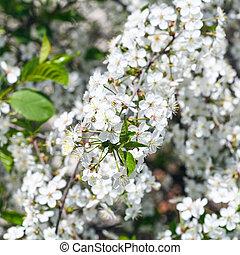 twig of flowering cherry tree in spring