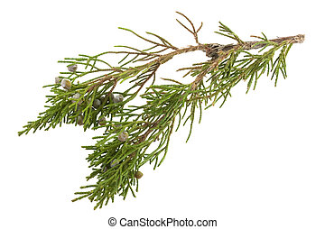 twig of juniper with old berries - twig of evergreen juniper...