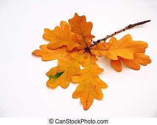 Twig of oak with autumn yellow leaves on a white background.