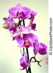 orchid lilac flowers