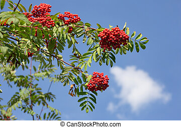 Twig of rowan tree with red ripe berries on a blue sky background. Autumn sunny day.