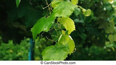 Twig of the grape with green leaves under downpour in slow...