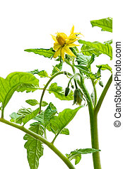 Twig of tomato plant with with flowers isolated on white