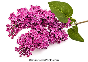 Twig purple lilac, Syringa vulgaris, isolated on white...