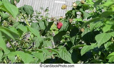 twig raspberry move wind - twig branch of raspberry grow and...