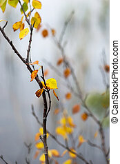 Twig with colorful autumn birch leaves