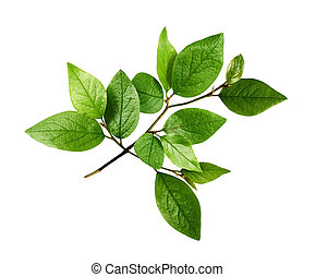 Twig with fresh green leaves