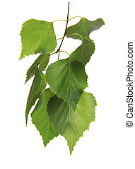 Twig with leaf of birch tree, isolated on white