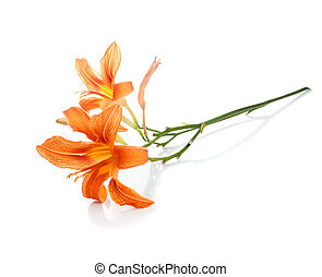 twig with two flowers of lilies on a white background
