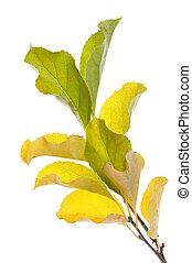 Twig with yellow leaves, autumn time