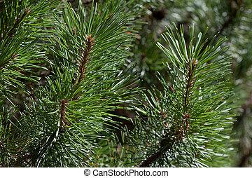 Twigs of green pine tree