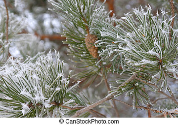 Twigs of pine hoar-frost covered