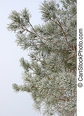 Twigs of pine