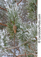 Twigs of pine with cone