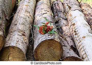 Twigs of red mountain ash lie on logs