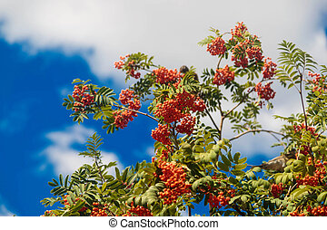 Twigs of rowan tree with bunches red ripe berries against the sky