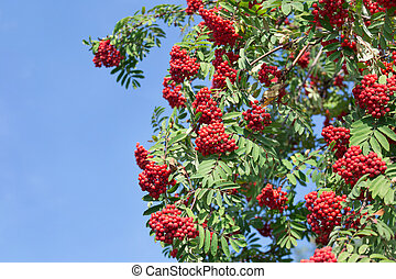 Twigs of rowan tree with red ripe berries on a blue sky background. Autumn sunny day.
