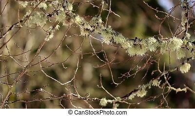 Twigs of trees has moss on it
