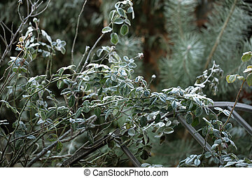 Twigs of wild plants on a frosty morning in the forest.