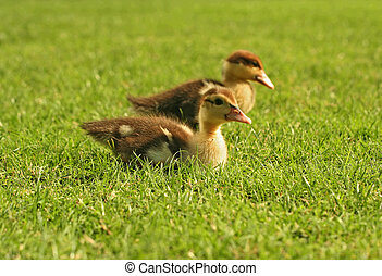 Twin Baby Duck
