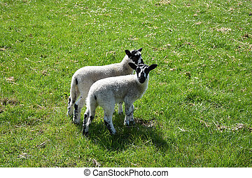 Twin Beulah Speckled Face Lambs in a Field