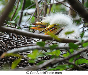 Twin Egret Chicks - Two great white egret chicks in their...