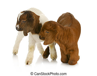 twin goats - two baby goat twins - purebred south african...