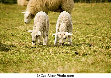 Twin lambs grazing