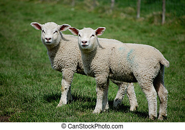 Twin lambs standing together