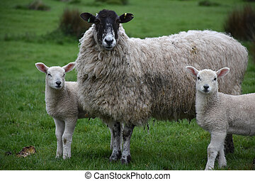 Twin Lambs with a Sheep in a Field