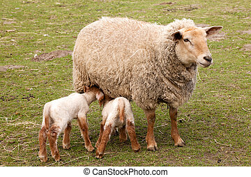 Twin lambs with mother sheep - Mother sheep with twin lambs ...