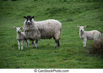 Twin Lambs with their Mother in a Grass Field