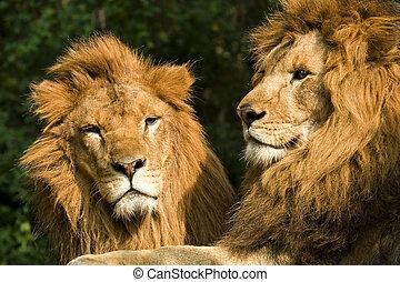 twin lions sunbathing on wilderness