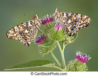 Twin painted ladies on burdock