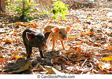 Twin piglets - Cute piglets in the morning sun in Madagascar