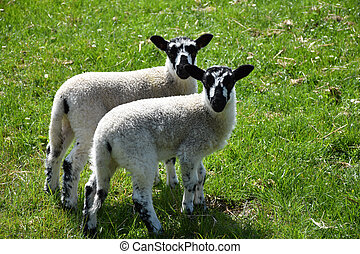 Twin Speckled Lambs in a Grass Field in England