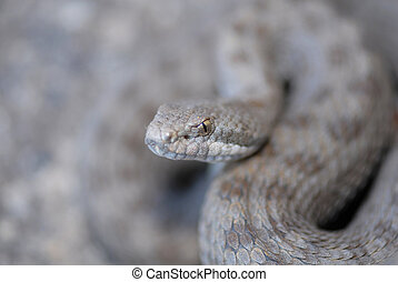 Twin-spotted Rattlesnake