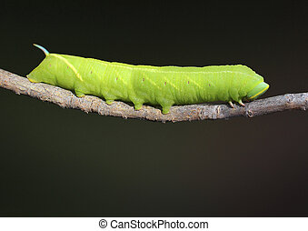 Twin Spotted Sphinx Caterpillar