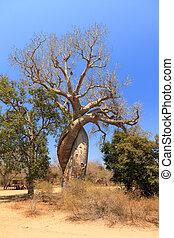 The famous Baobab Amoreux, a twisted Baobab in Madagascar