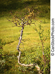 Twisted downy birch in front of defocused marsh