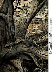 Twisted Juniper - Gnarled, twisted juniper tree still...