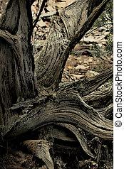 Twisted Juniper - Gnarled, twisted juniper tree still...