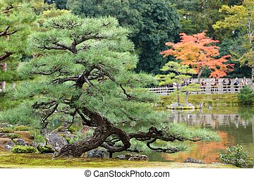 twisted pine tree in japanese zen garden , Kyoto