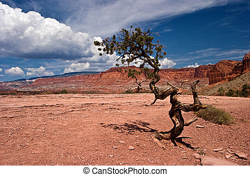 Twisted Pinyon Pine Tree Capitol Reef National Park Torrey, ...