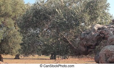 Twisted trunk of an olive tree