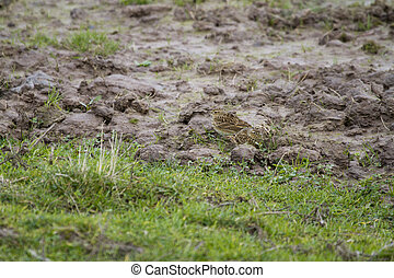 Twite (Carduelis flavirostris) on the ground looking for...