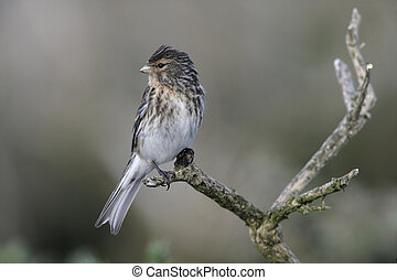 Twite, Carduelis flavirostris, single bird on perch,...