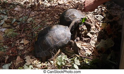 Two 4 years old giant tortoises at Curieuse Island breeding...