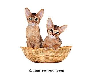 two abyssinian kitties sitting in a basket